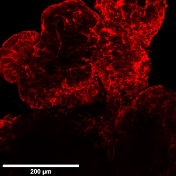 imaging of 3d organoids